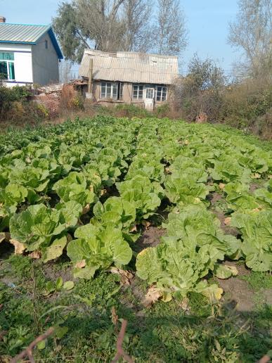 白菜 1公斤